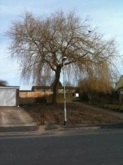Final day of site clearance - felling the willow tree
